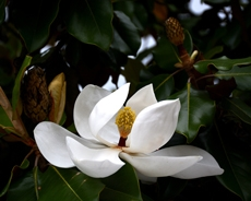 Magnolia2518JRACweb